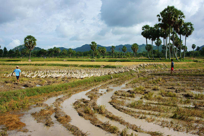 Kinderarbeit lassen Ente auf Reisfeld weiden stockfotos