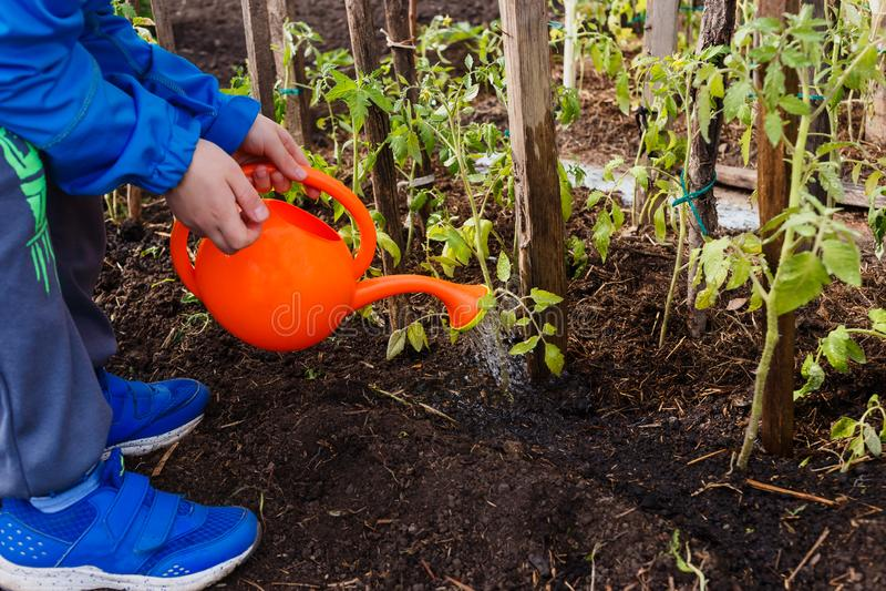 Kinderbewässerungstomatensämlinge von einer kleinen orange Gießkanne im Garten lizenzfreie stockfotografie
