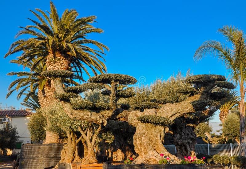 Kinderdagverblijf gekweekte die olijf en palmen voor verkoop wordt aangeboden stock foto