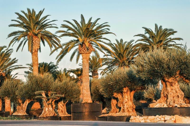 Kinderdagverblijf gekweekte die palm en olijfbomen voor verkoop wordt aangeboden stock afbeelding