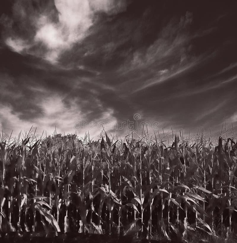 Kinderloser Mais in Mittelillinois lizenzfreies stockbild