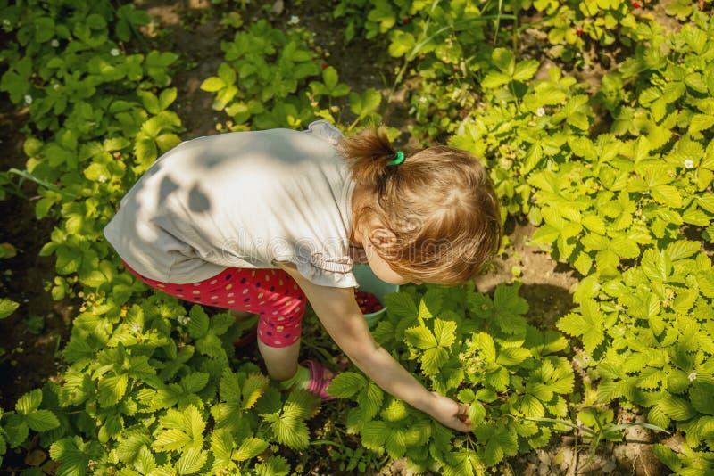 Kindersammelnerdbeeren Kinder w?hlen frische Frucht auf organischem Erdbeerbauernhof aus Im Garten arbeitende und erntende Kinder stockbilder