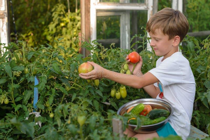 Kinderversammlungsgemüse erntet die Jungenarbeiten im Garten stockbild