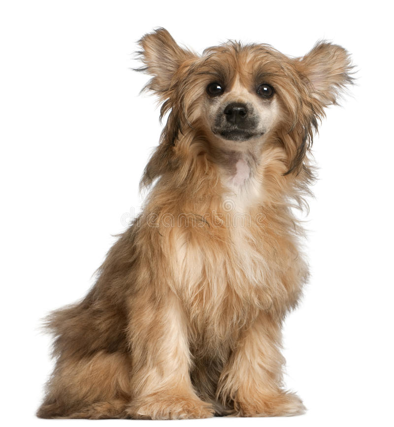 kines krönad främre sittingwhite för hund arkivbilder