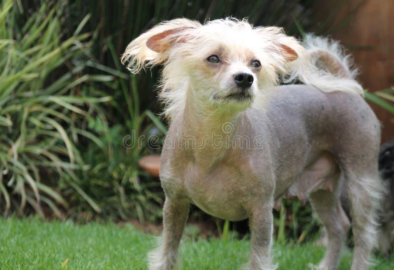 Kines krönad hårlös kvinnlig hund - Gimly royaltyfri foto