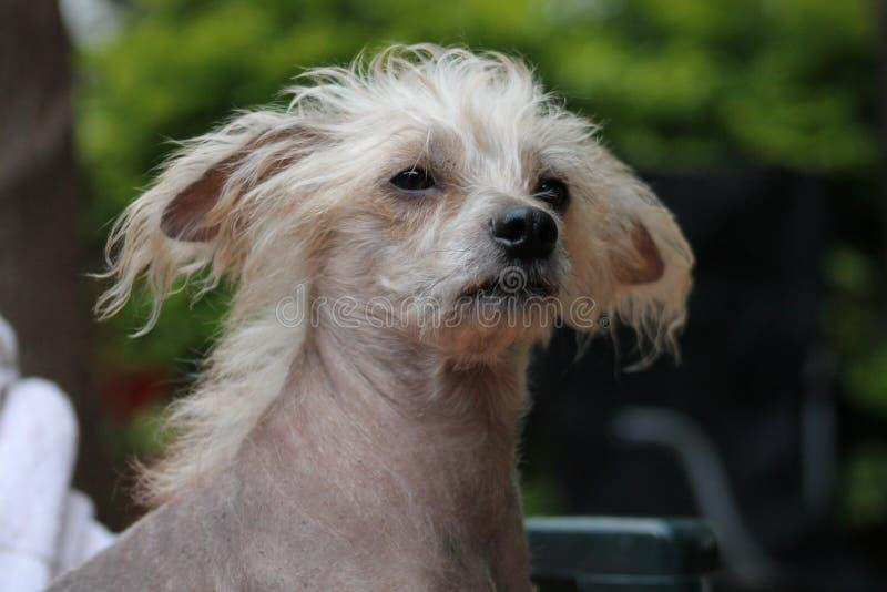 Kines krönad hårlös kvinnlig hund - Gimly royaltyfri bild
