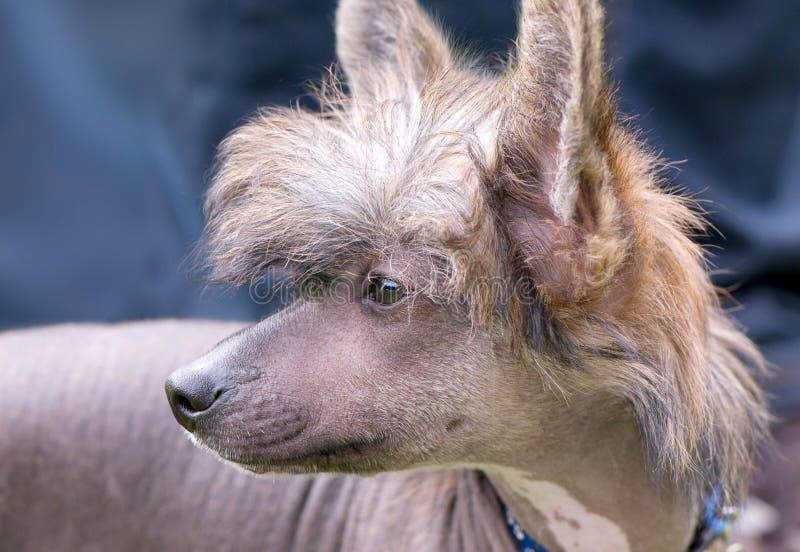 kines krönad hårlös stående för hund royaltyfri bild
