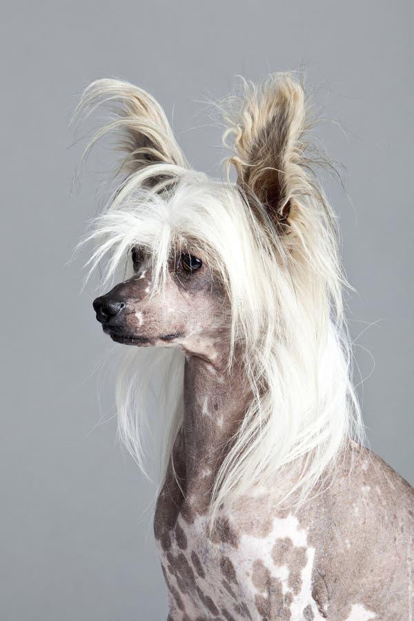 kines krönad hårlös stående för hund fotografering för bildbyråer