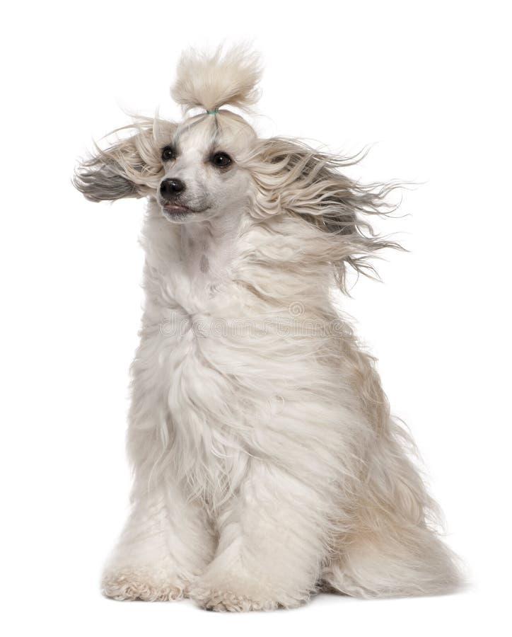 kines krönad wind för hundhår royaltyfri fotografi
