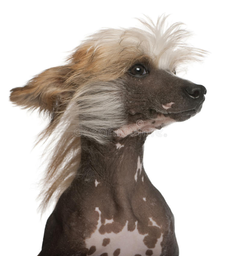 kines krönad wind för hundhår arkivfoto