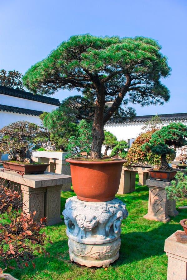 Kines sörjer bonsai i en ljus orange kruka i trädgården royaltyfri fotografi