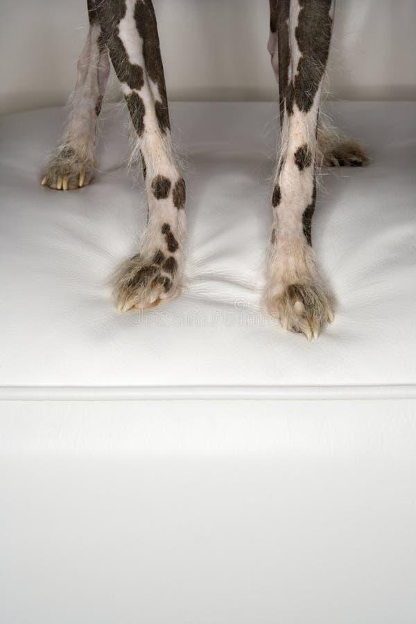 kinesen krönade hunden tafsar royaltyfri fotografi