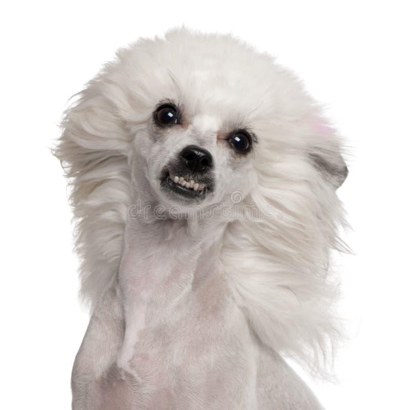 kinesen krönade wind för hundhår royaltyfri foto
