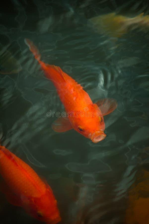 Kinesisk fisk i ett damm i Kina royaltyfri foto