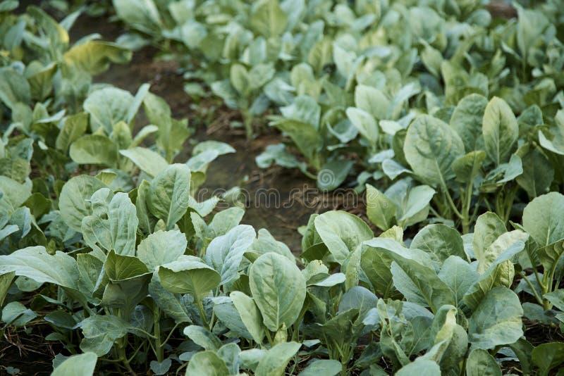 Kinesisk grönkål som planteras i trädgård royaltyfri foto