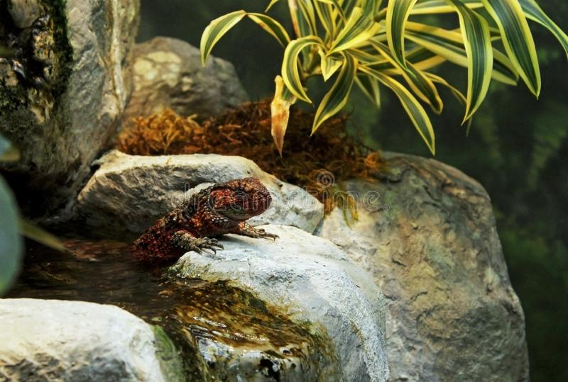 Kinesisk krokodilödla arkivfoto