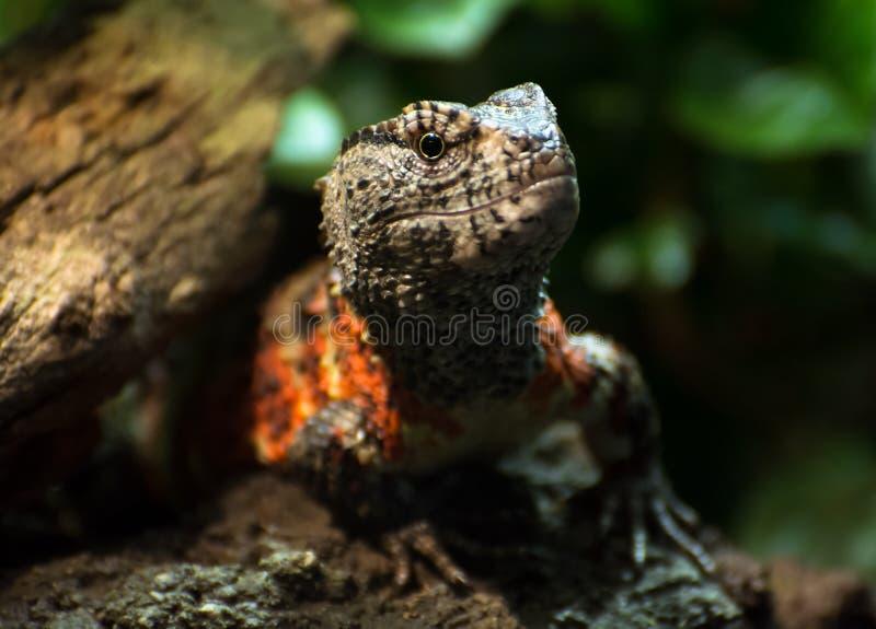 Kinesisk krokodilödla (den Shinisaurus crocodilurusen) arkivfoton