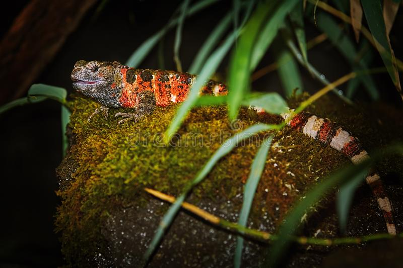 Kinesisk krokodilödlaShinisaurus crocodilurus royaltyfri bild