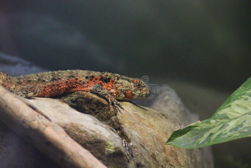 Kinesisk krokodilödlaShinisaurus crocodilurus arkivbilder