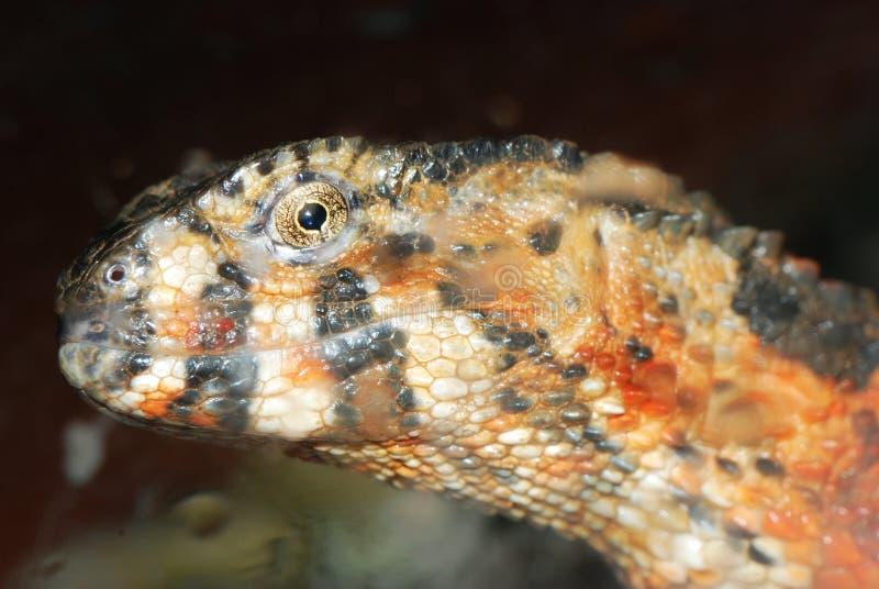 kinesisk krokodilhuvudödla royaltyfri fotografi