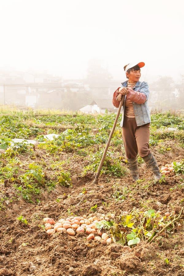 Kinesisk kvinna som skördar potatisar i fälten på vintermorgon, gammal by i dimmabakgrunden, lantliga Yunnan, Kina royaltyfria foton