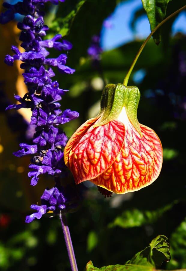 Kinesisk lykta för Abutilon som blommar lönnväxter royaltyfri foto