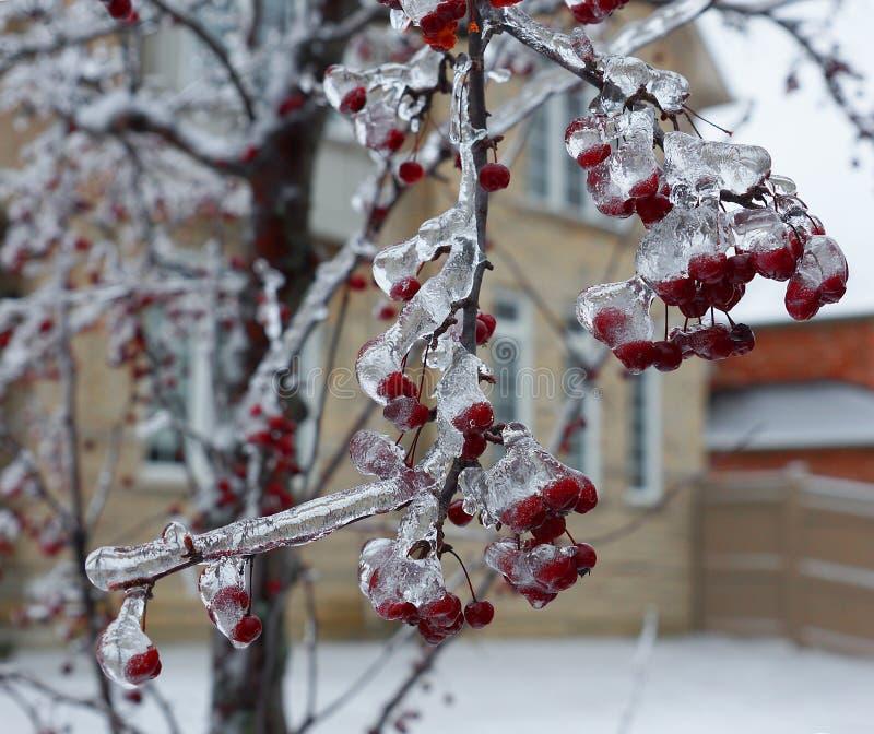 Kinesisk vinter för crabappleträdis royaltyfri foto