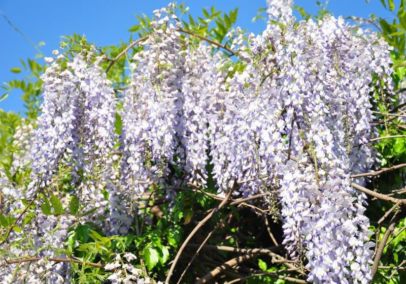 Kinesisk wisteria (Wisteriasinensisen) arkivfoto