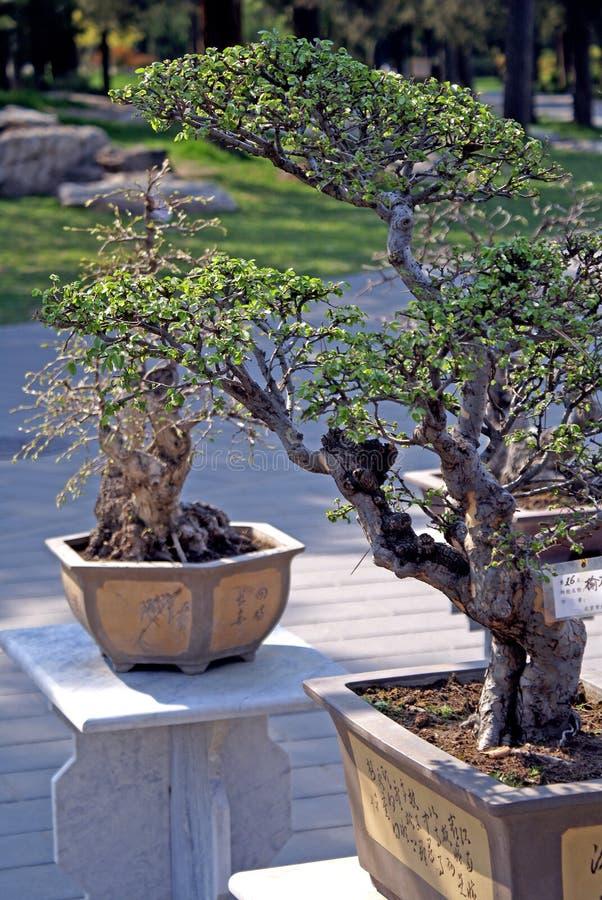 kinesiska bonsais royaltyfri bild