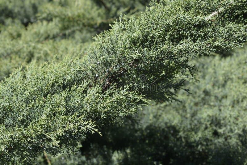 Kinesiska juniper Hetzi Glauca arkivfoto