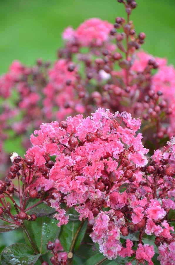 Kinesiska rosa färger arkivbilder