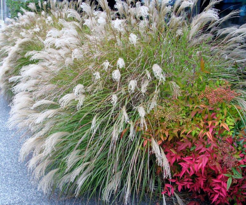 Kinesiskt silvergräs och himla- bambubuske arkivbild