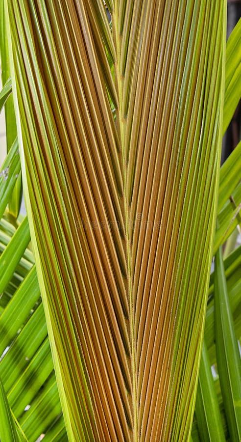 King Alexander Palm Frond stock foto