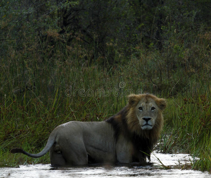 King of All. Large Male Lion, unusually in water, due to flooded areas of the Kalahari bush veld royalty free stock photography