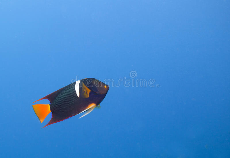King Angelfish (Holocanthus passer). A single King Angelfish (Holocanthus passer) swimming up. Off center for copy space royalty free stock photography