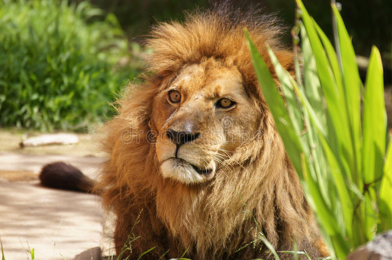 Download The King Of The Beasts Glares Stock Photos - Image: 23923493