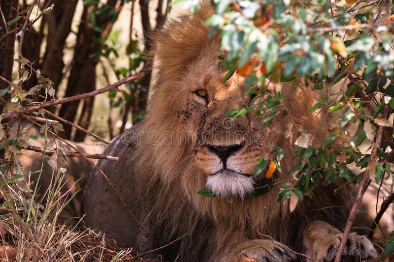 King of beasts on guard. Lion portrait. stock photo