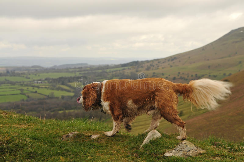 Download King Charles stock photo. Image of wales, spaniel, charles - 24462376