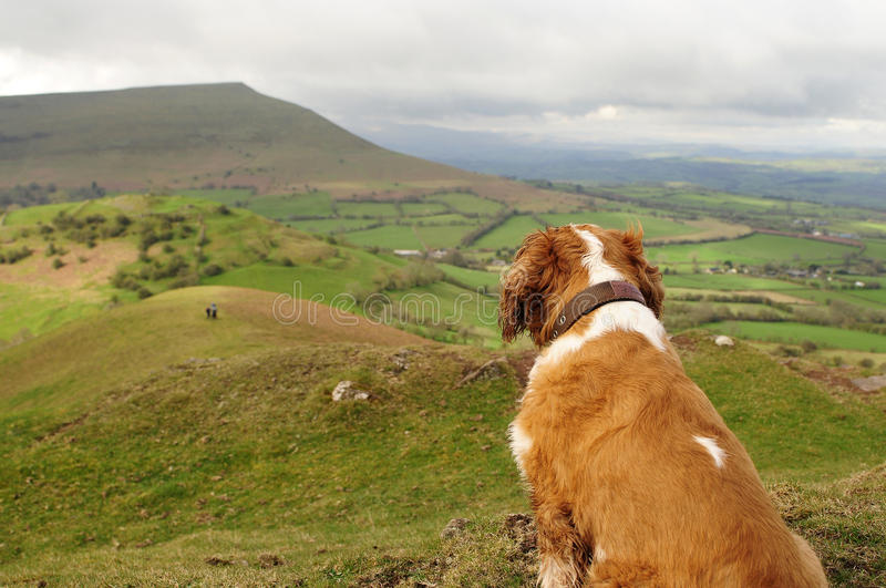Download King Charles stock image. Image of peak, charles, spaniel - 24463149