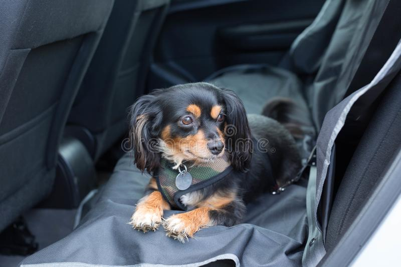 Small dog laying on the backseat of a car with harness on. King charles cavalier cross terrier dog laying down in the back seat of the car with a car harness on stock photos