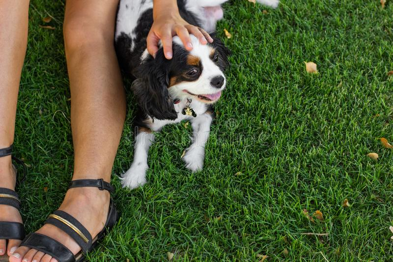 King Charles Cavalier female doggy portrait lay near owner leg on a green grass meadow background outdoor foreshortening from. King Charles Cavalier dog portrait stock photos