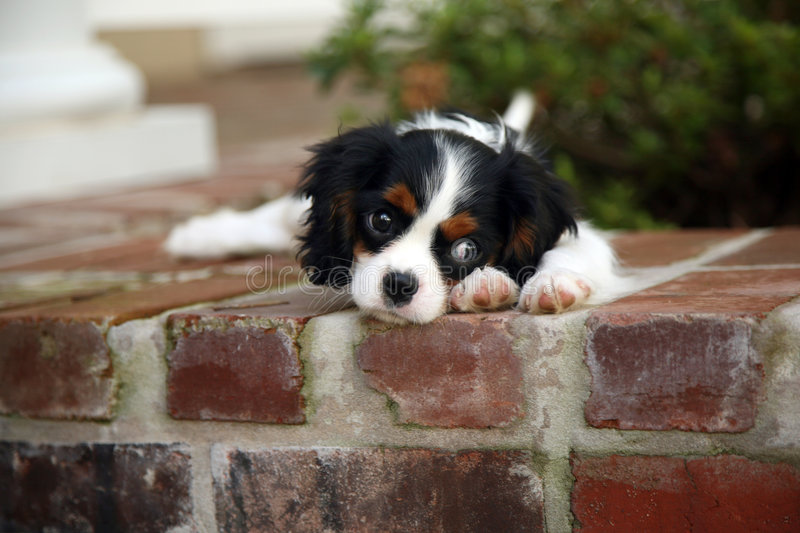 King Charles Cavalier Puppy. Adorable King Charles Cavalier pup on red brick wall stock photos