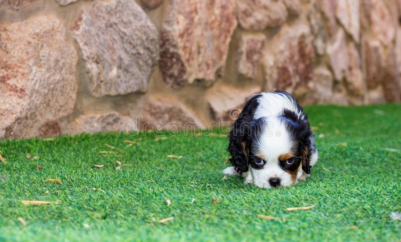 King Charles Cavalier puppy cute sad looking at camera pet animal portrait back yard space with green grass and unfocused stone. King Charles Cavalier puppy cute royalty free stock image
