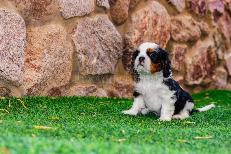 King Charles cavalier puppy portrait with brave face and funny proud pose on a synthetic green grass of house back yard outdoor. Space with stone wall royalty free stock photography