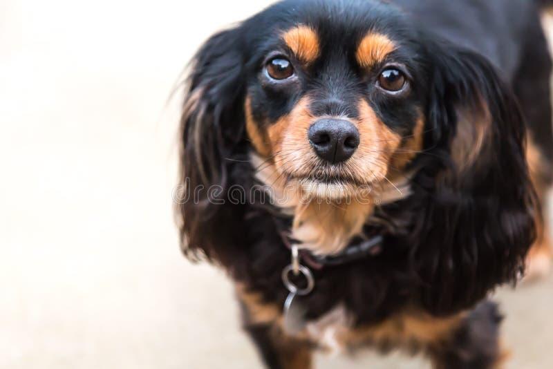 King Charles Cavalier Spaniel cross Silky terrier dog royalty free stock photo