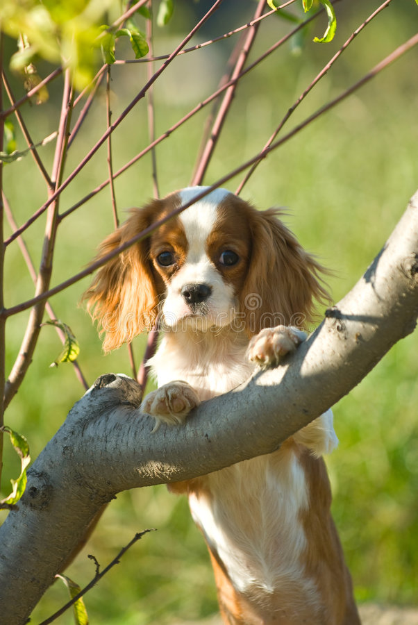 Free King Charles Spaniel Royalty Free Stock Images - 6785769