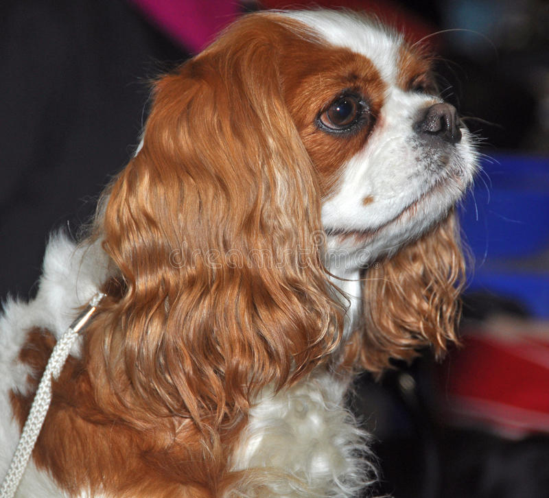Download King Charles Spaniel dog stock image. Image of canine - 39513281