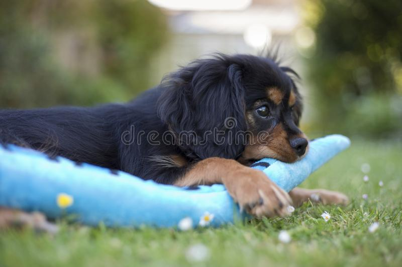 King Charles Spaniel playing with a toy in a garden. King Charles Spaniel puppy at 13 weeks old, England, United Kingdom royalty free stock photos
