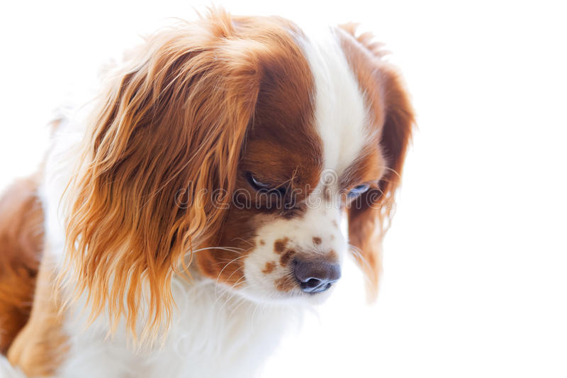 King Charles Spaniel on white background. King Charles Spaniel (English Toy Spaniel) - small dog breed of the spaniel type. Downward facing dog's head on white royalty free stock image