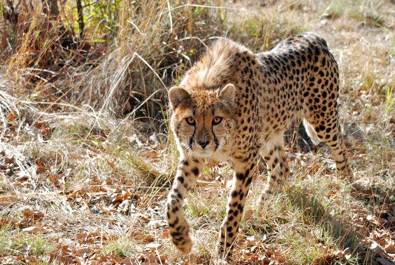 Download King cheetah stock photo. Image of jubatus, fast, exotic - 17083494